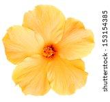 Delicate  Yellow Hibiscus...