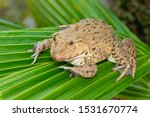 Image Of Chinese Edible Frog ...