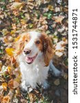 Small photo of Portrait of a friendly purebred russian spaniel. Cute spaniel dog sits among autumn leaves in grass at a park
