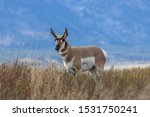 Pronghorn Antelope Buck In...