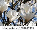Spring Flowers Of Magnolia Tree