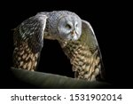 Close Up Great Grey Owl In...