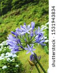 Blue Agapanthus Flowers On A...