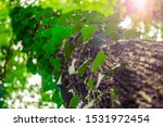Large Tree Trunk With Natural...