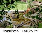 The Sitatunga Or Marshbuck ...