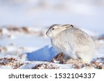 Stock photo white mountain hare lepus timidus in scottish highland these hare change their fur colour white 1532104337