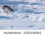 Stock photo white mountain hare lepus timidus in scottish highland these hare change their fur colour white 1532104361