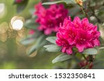 Beautiful Red Rhododendron...