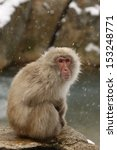 Japanese Macaque Or Snow Monke...