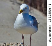 Stock photo single european herring gull on heligoland island dune north beach larus argentatus 1532550641