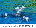 Stock photo group of european herring gull on heligoland island dune cleaning feather in sweet water pond 1532597411