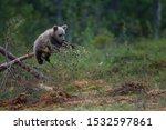 Wild European Brown Bear Cubs