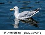 Stock photo herring gull larus argentatus in park 1532889341