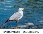 Stock photo herring gull larus argentatus in park 1532889347