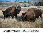 Two bison are fighting with each other at the National Elk and Bison range in Montana.