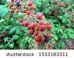 Lovely Wild Blackberries  Some...