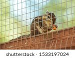 Caged Little Squirrel Eating A...