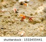 Uca Vocans  Fiddler Crab...