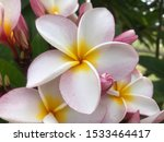 Stock photo white flower petals pink petal border the base of the petals was light yellow 1533464417