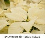 Rows Of White Poinsettia Plant...