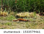 Yellow Tailed Mongoose In A...