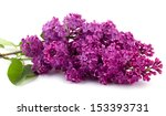 lilac isolated on white... | Shutterstock . vector #153393731