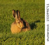Stock photo young hare who comes grazing every morning to a campground in mellerud sweden 1533998711