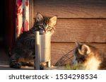 Stock photo manx kittens photographed with a macro lens mm playing in the sunset 1534298534