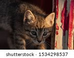 Stock photo manx kittens photographed with a macro lens mm playing in the sunset 1534298537