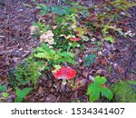 Pair Of Fly Agaric Or Fly...