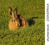 Stock photo young hare who comes for nabbling grass every morning to a campground in mellerud sweden 1534359014