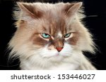 Stock photo closeup portrait of birman cat 153446027