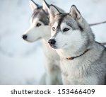 Two Siberian Husky Dogs Closeu...