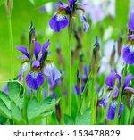 Flower Bed Irises
