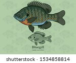 Bluegill, Sun fish. Vector illustration with refined details and optimized stroke that allows the image to be used in small sizes (in packaging design, decoration, educational graphics, etc.)
