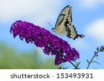 Giant Swallowtail Butterfly On...