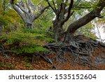Beech Trees With Impressive...