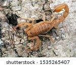 Yellow Ground Scorpion  On Bar...