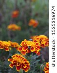 Small photo of A multicolor scarab beetle on orange and red marigolds. 3063