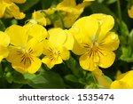 Bright Yellow Pansies