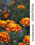 Small photo of A multicolor scarab beetle on orange and red marigolds. 3081
