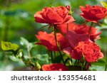 Stock photo garden red roses 153554681