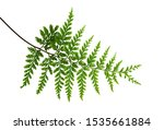 Fern Leaf  Ornamental Foliage ...