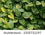 Green Nettle Leaves Turning...