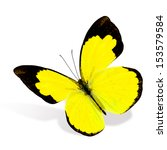 Stock photo beautiful small grass yellow butterfly eurema smilax in natural color isolated on white background 153579584