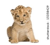 Lion Cub  6 Weeks  In Front Of...