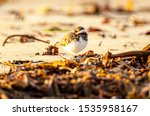 Ringed Plover Roosting On A...