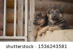 Stock photo east european shepherd puppies the little puppy yawns the east european shepherd 1536243581
