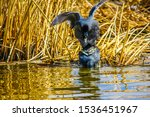 American Coots During Mating...