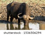 Small photo of Buffalo are very poor at conserving their water and hydration and are consequently very dependant on surface water. Periods of drought can wreak havoc on their numbers.